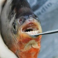 A red-bellied pacu and its weirdly human teeth. Michigan Department of Natural Resources