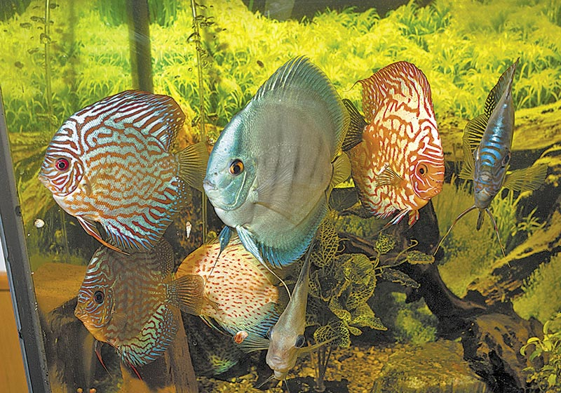 A collection of discus, which come originally from the Amazon Basin.