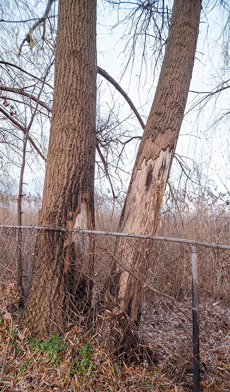 Damage done by phragmites fires on the Howard Watson Nature Trail.
